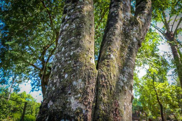 Giải mã sự thật thú vị về cây Dó Bầu - Cây dó bầu có phải cây trầm hương  không?