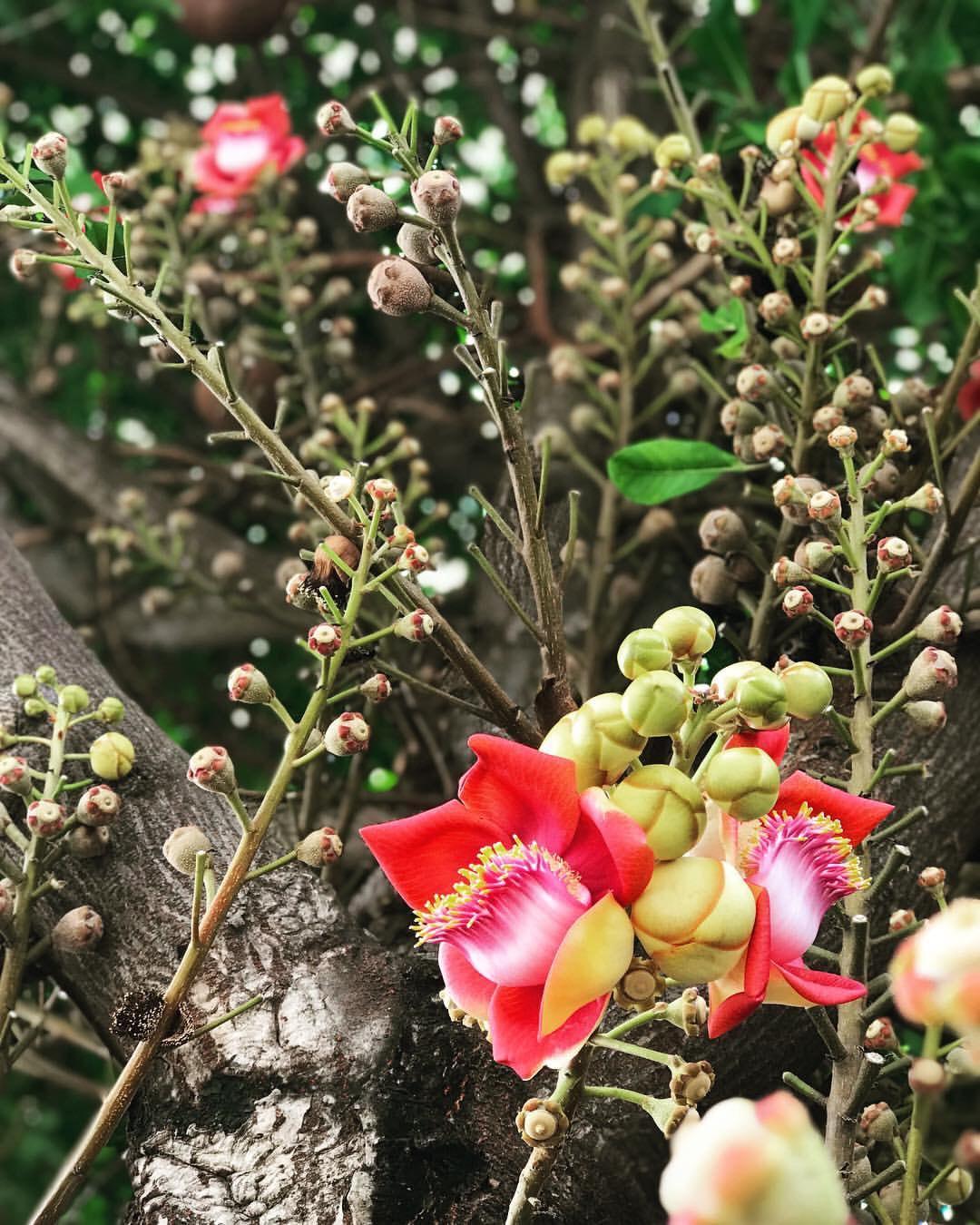 Nhiều người lầm lẫn Sala và vô ưu với một loài cây khác là Ngọc Kỳ Lân